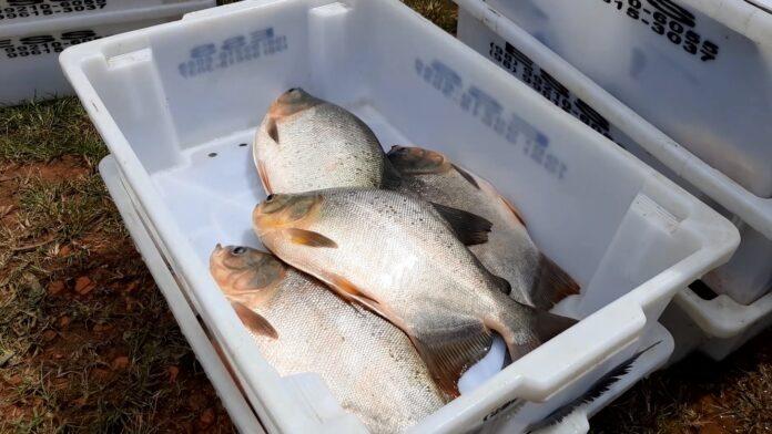 Associação de piscicultores de Matinha se pronuncia sobre casos de síndrome relacionada ao consumo de peixes